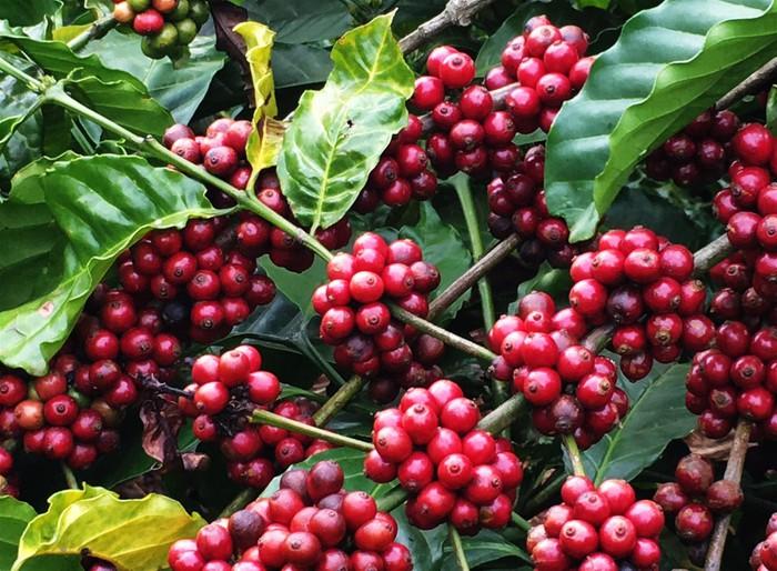 Giá cà phê hôm nay ở khu vực Tây Nguyên giảm trở lại