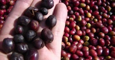 Giá cà phê hôm nay 9/12: Tiếp tục tăng 400 đồng/kg vào cuối tuần